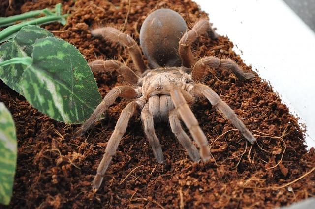 tarantula-315750_640.jpg